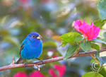 Male Indigo Bunting perched on branch