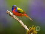 Male Painted Bunting perched on branch