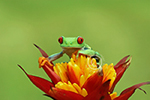 Red-eyed Tree Frog on flower, native to Costa Rica