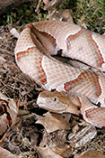 Northern Copperhead Snake in coiled position