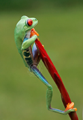 Red-eyed Tree Frog climbing flower