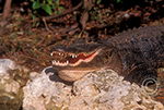 Large American Alligator with mouth open