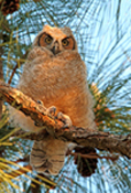 Great Horned Owl Chick in Tree