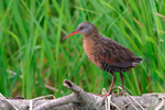 Virginia Rail in the open