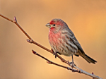 Male House Finch in prime plumage
