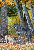 Wolf pair at den entrance in Autumn